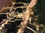 Lupine nodules