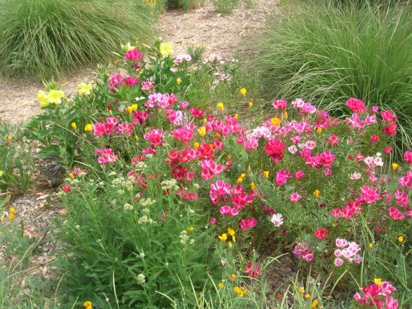 Clarkia, primroses & yarrow
