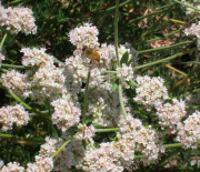 Bee on E. fasciculatum