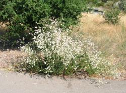 Roadside buckwheat
