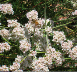Bee on buckwheat