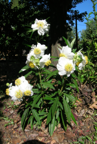 Bush anemone (Carpenteria californica)