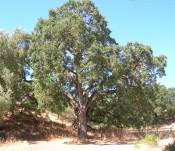 California white oak, at Sycamore Grove