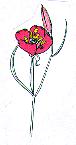 Clarkia w: bowl-shaped petals