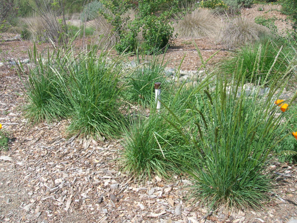 June grass (Koeleria macrantha)