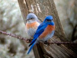 A pair of western bluebirds