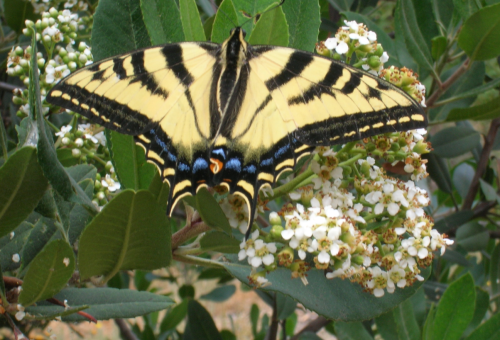 Tiger swallowtail on toyon