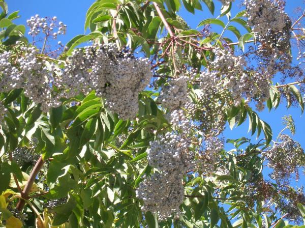 Elderberry Clusters