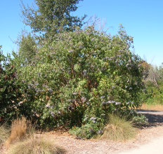 Elderberry in August