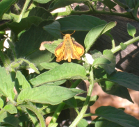 Fiery skipper on tomato