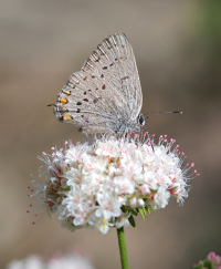 Hairstreak on buckwheat