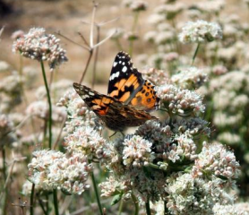 Painted lady on buckwheat