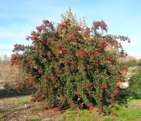 Toyon at the GNG, December, 2012