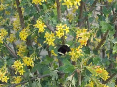 A busy carpenter bee on golden currant