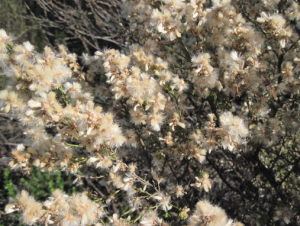 Fluffy blossoms