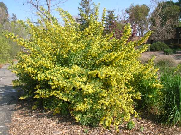 Ribes aureum (3-21-13)