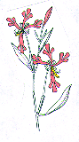 Clarkia w: wheel-shaped petals