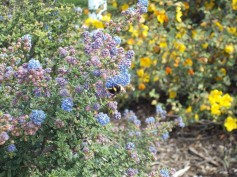 'Dark Star' ceanothus with a worker bee