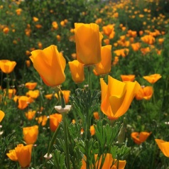 Late-season California poppies