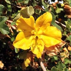 Flannelbush blossom