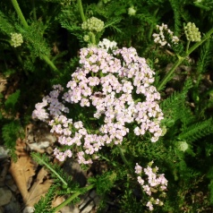 Yarrow, first of the season