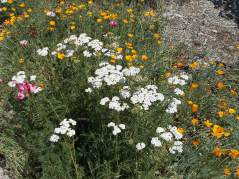 Yarrow, white variety
