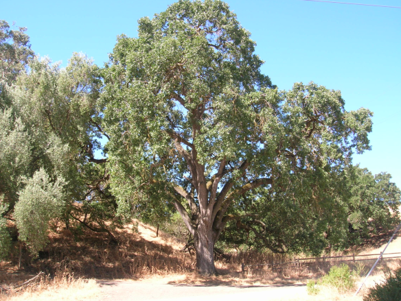 A stately valley oak at Sycamore Grove Park