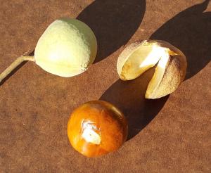 A buckeye fruit (upper left) and its nut (below)