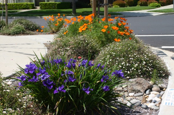 Native irises, Santa Barbara daisies, and California poppies in Cindy's garden.