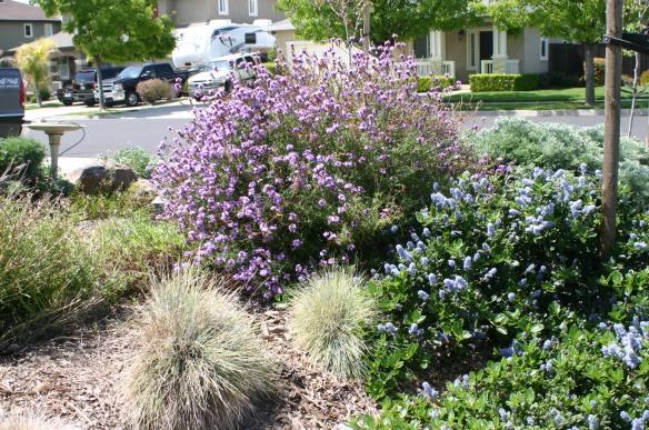 Lilac verbena, California lilac and Idaho fescue in Cindy's garden.
