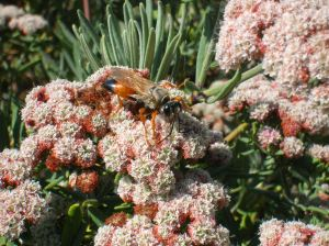 A golden digger wasp – great for pest control!