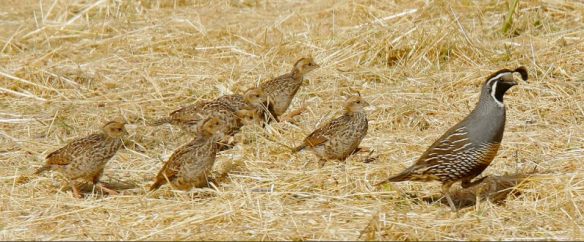 A mama California quail and her children, out for a  stroll.