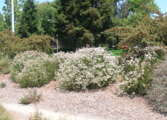 Buckwheat, in bloom – NO Summer Water