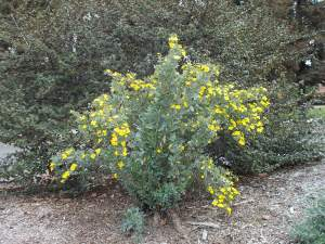 Bush poppy – NO summer water
