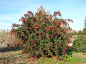 Toyon (Christmas berry) – no summer water