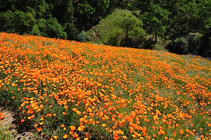A hillside of California poppies
