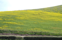 A hillside of European mustard