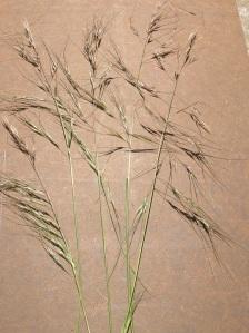 Stipa seeds
