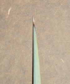Leaf tip