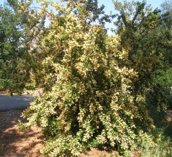 Holly-leafed cherry in bloom