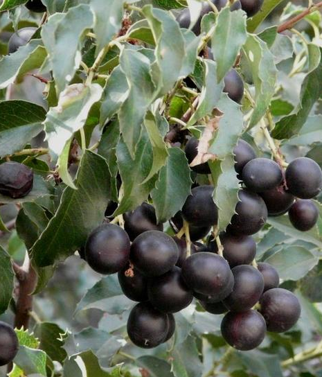 P. ilicifolia, ripe fruit