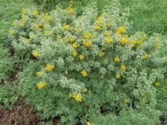 Bladderpod (grassland-riparian, E1)