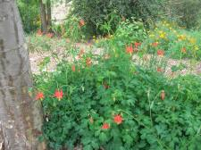 Columbine (oak woodland-riparian, C1,2)