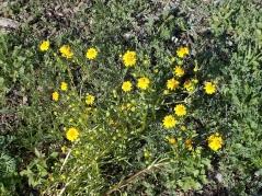 Goldfields (grassland, A)