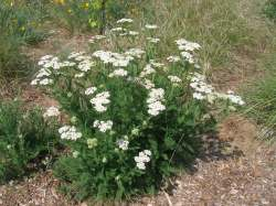 Yarrow (several locations)