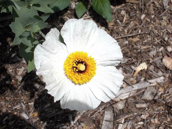Romneya blossom