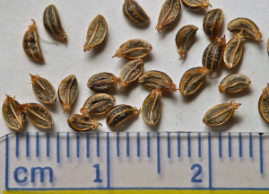 Yampah seeds (courtesy of Jean Pawek)