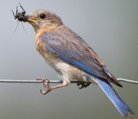 Bluebird with insect