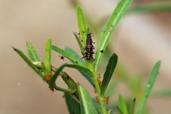 ladybug-larva-on-milkweed