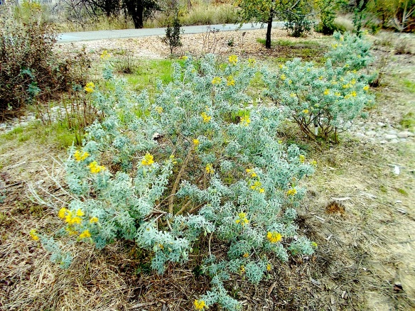 Bladderpod at the Granada Native Garden